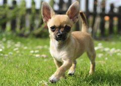 Top 10 giống chó được nuôi nhiều nhất ở Trung Quốc