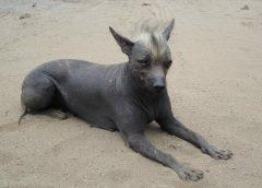 Top 10 giống chó quý hiếm nhất thế giới