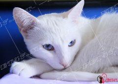 Những giống mèo có bộ lông màu trắng đáng yêu
